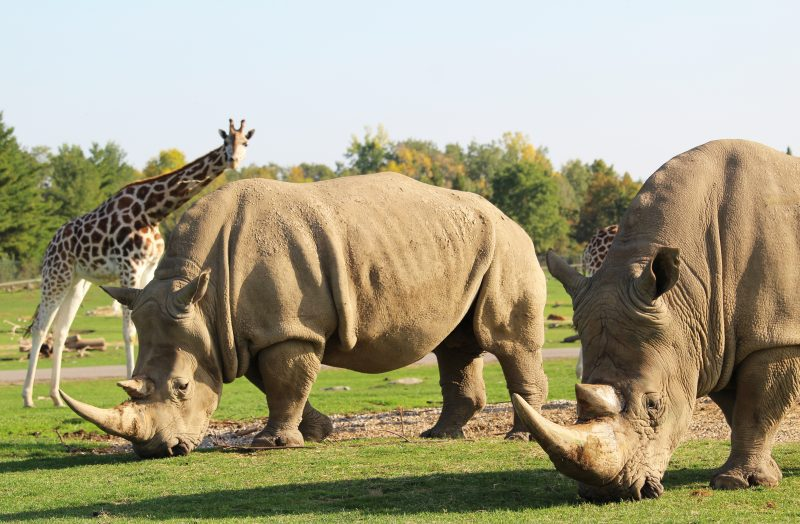 rhinos in their reserve at African Lion Safari
