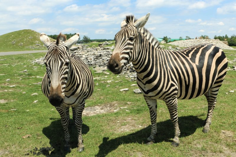 Zebras roaming at African Lion Safari