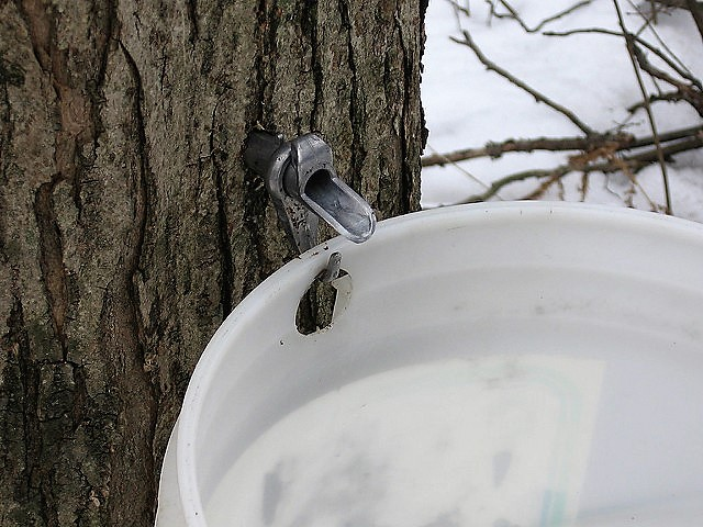 Tap into the Fun at the Elmira Maple Syrup Festival!