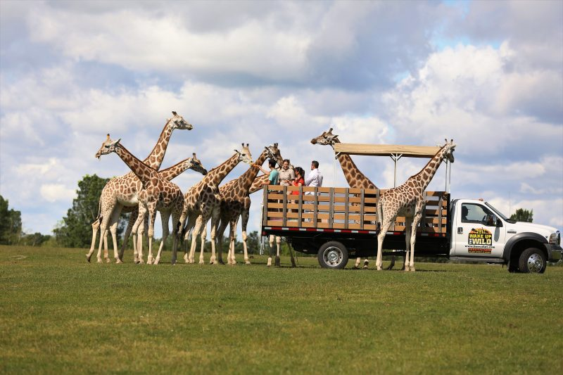 visitors feeding giraffes at African lion Safari Wake Up the Wild adventure