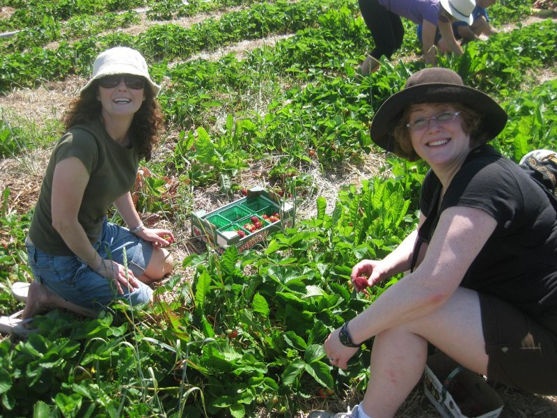 strawberry pickers in the field at Herrle's