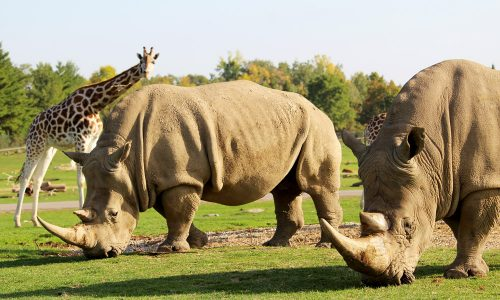 Two rhinos and a giraffe at African Lion Safari
