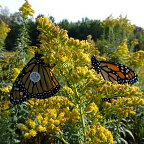 monarch butterflies, monarch tagging weekend, cambridge butterfly conservatory, things to do waterloo region, conservation efforts, family things to do,