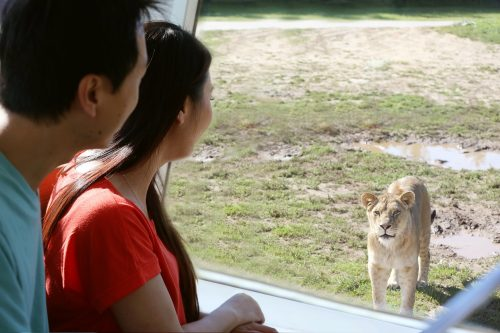 couple in an open air bus looking at a lion at African Lion Safari's Wake Up the Wild