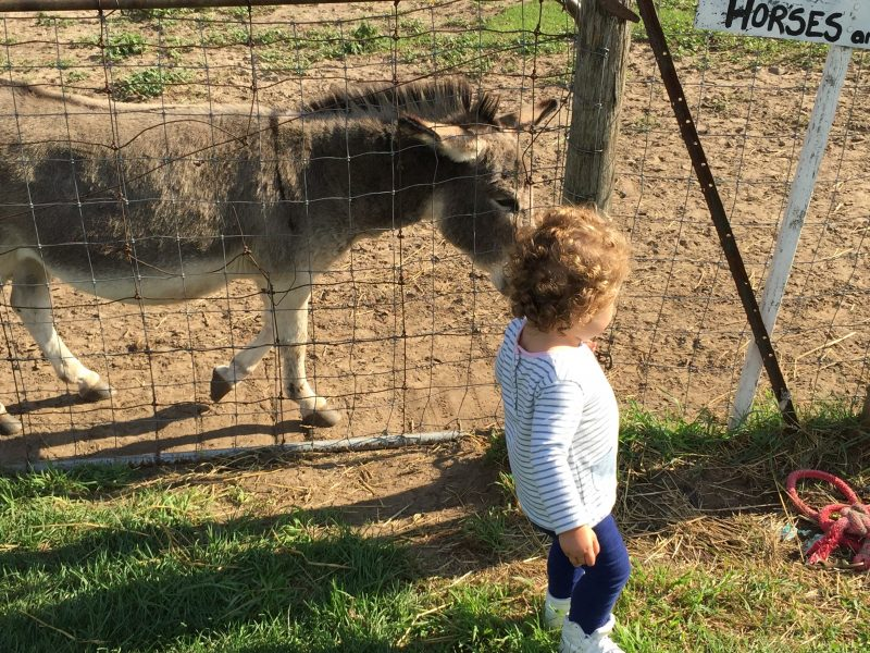 little girl with the animals at Steckle Family Farm