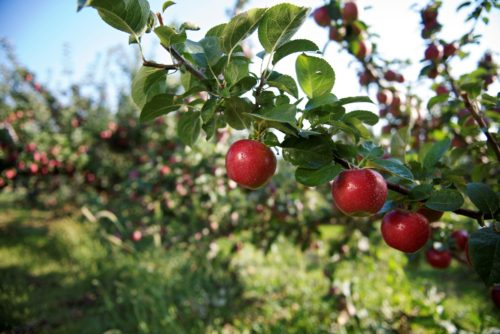 Farm-to-Table Relationships In Waterloo Region: Fat Sparrow Group and Martin's Family Fruit Farm