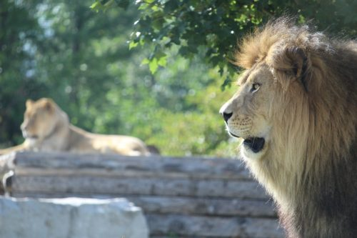 things to do waterloo region, african lion safari, attractions, family friendly things to to,
