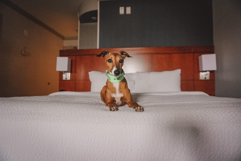 a whippet lying on a bed in a suite at the Courtyard by Marriott Hotel in St. Jacobs
