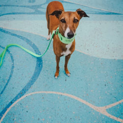small whippet dog standing on a mural painted on the street in downtown Kitchener