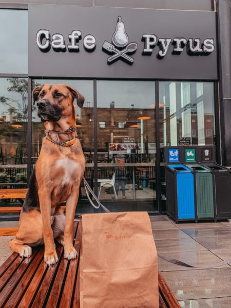 large mixed breed dog sitting in front of Cafe Pyrus in downtown Kitchener