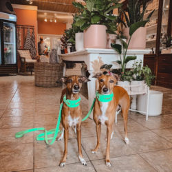 two whippet dogs standing inside the Living Fresh floral shop in St. Jacobs
