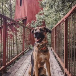 large mixed breed dog sitting on a walking bridge that leads to the rad Sheave Tower in the forest in the village of Blair