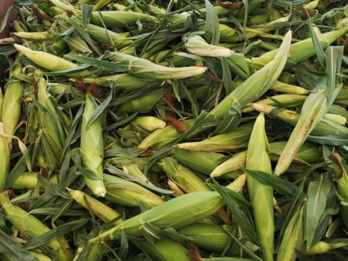 hundreds of cobs of loose corn, still in its husks, in a pile