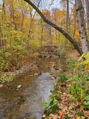 a forested area along the Iron Horse Trail in the fall, with all the leaves changing colour. There is a small stream running through the trees
