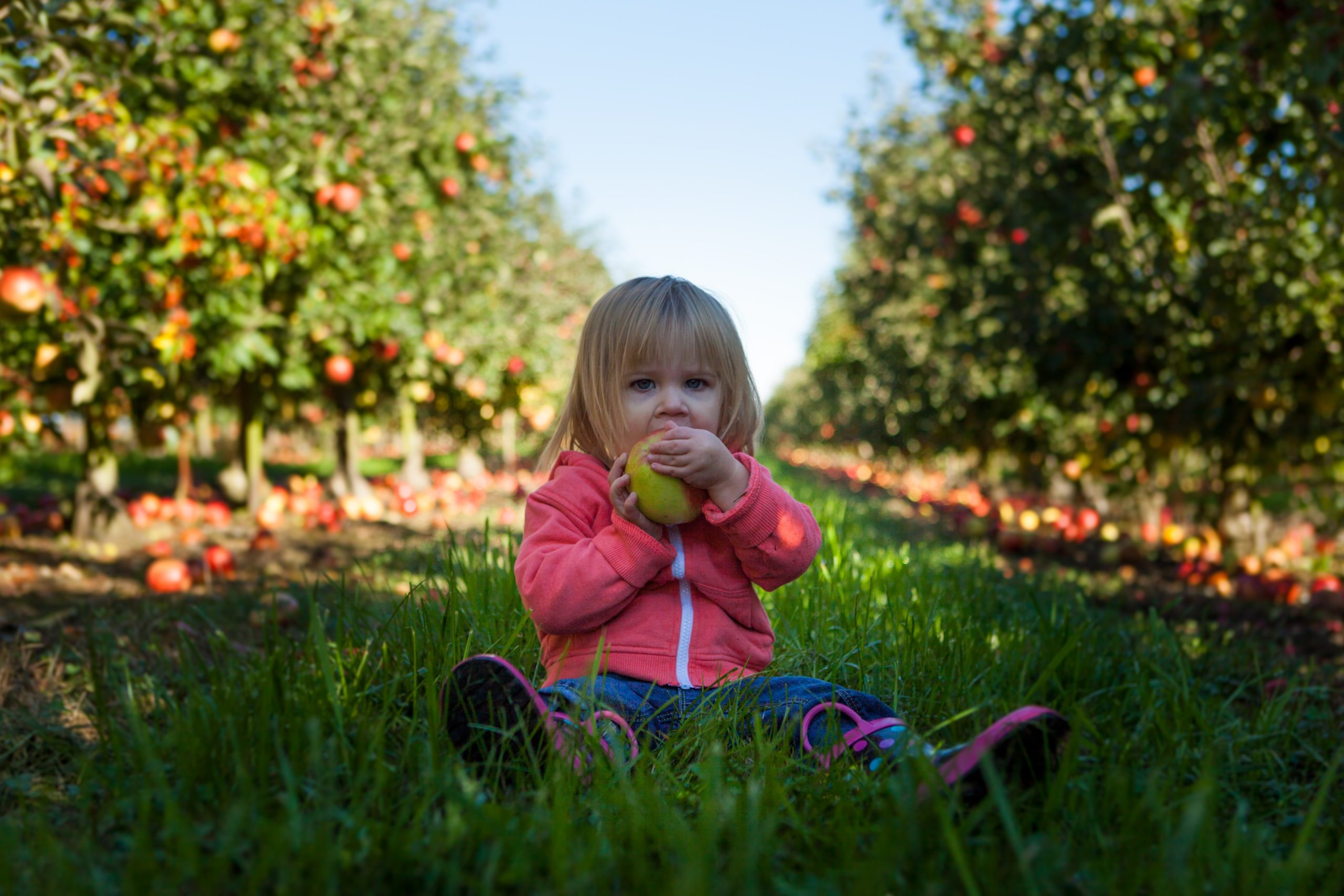 little girl in a pink jacket and blue pants sitting in an apple orchard eating a fresh apple with rows of trees on either side of her